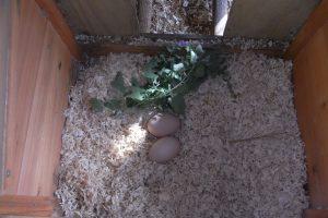 image, Nesting Box Herb, Catnip Nepeta cataria