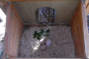 Nesting box herb-Lemon Balm