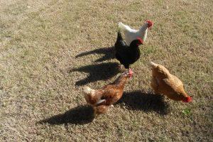 Nesting Box Herbs = Happy Hens