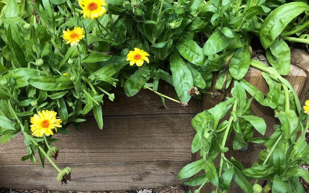 Plant of the Month: Calendula