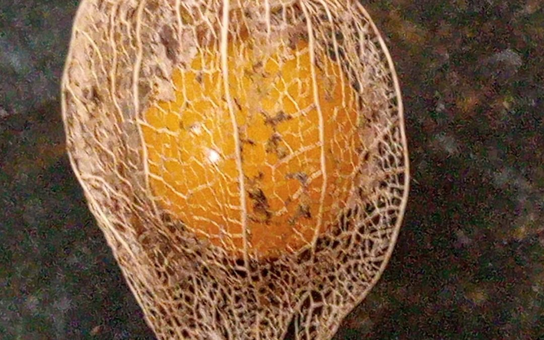 Plant of the Month: Cape Gooseberry