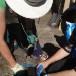 Potting up lemongrass