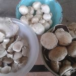 4 Cap Brown & Oyster Mushrooms Harvested Jun 11 2017