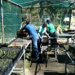 Loading the finished trays into the greenhouse