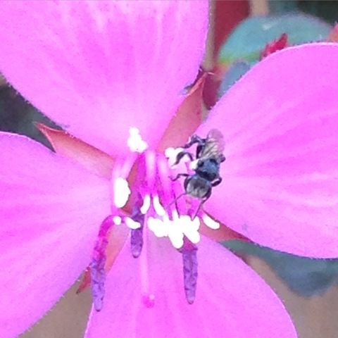 Stingless Bees Photo courtesy: Image courtesy: Mellissa Ballantyne Tetragonula Carbonaria