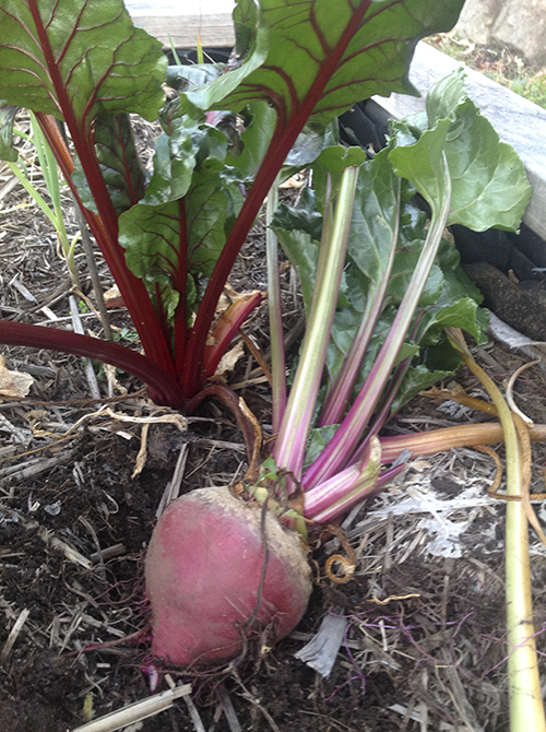 From Seed to Plate- Chioggia Striped Beetroot