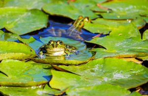 pic of a frog in a pond