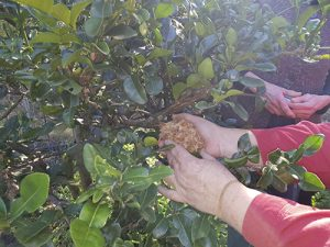 Annette showing a method of propergating fruit trees, called marcotting